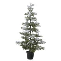 Imperial Snow Pine
